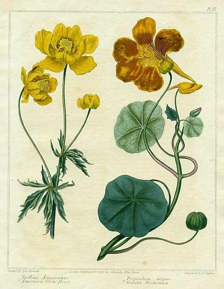 Globeflower and Nasturtium