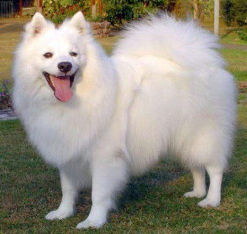 Top 20 Indian Dog Breeds Purchasing Price And Care Spitz Puppy Dog Breeds Japanese Spitz Dog