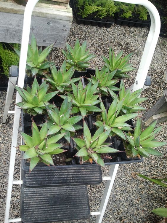 agave succulents