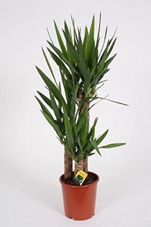 1 x Quality Indoor  Yucca Elephantipe Evergreen House Plant