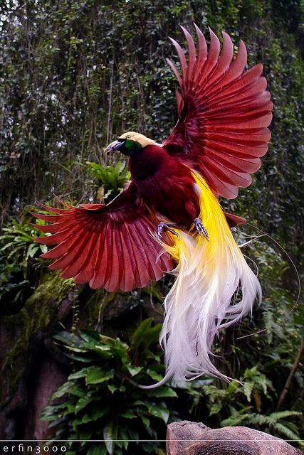 Greater Birds of Paradise in flight: