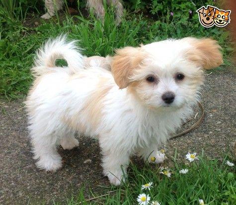 Stunning Rare Miki Girl Puppies For Sale Newark
