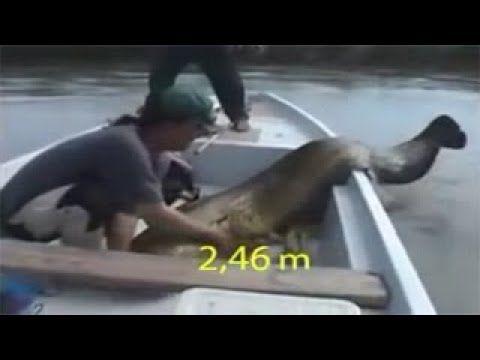 لحظة اصطياد حورية البحر حقيقية وحية صورتها عدسات الكاميرا Youtube Walrus Believe Animals