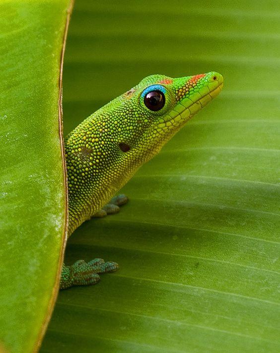 Gecko on Banana leaf by Charlie VanTassel