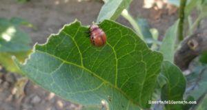 Escarabajo de la patata larva