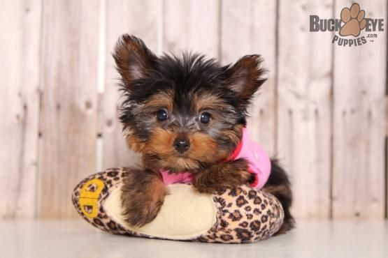 Diamond Yorkshire Terrier Puppy For Sale In Mount Vernon Oh Buckeye Puppies Yorkie Puppy For Sale Yorkshire Terrier Puppies Yorkie Puppy
