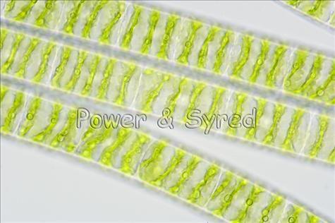 Spirogyra algae
