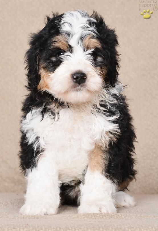 King Mini Bernedoodle Puppy For Sale In Millersburg Oh Lancaster Puppies Bernedoodle Puppy Puppies For Sale Bernedoodle