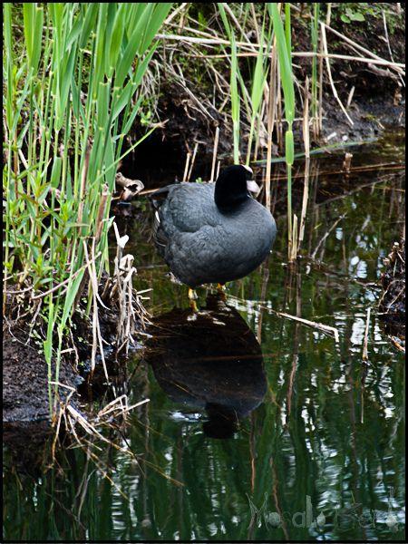 odd bird at Schwarzsee lake