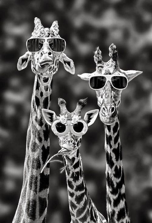 Cool As F*ck Giraffes