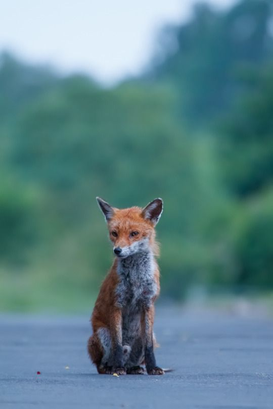 Red Fox by William Harvey