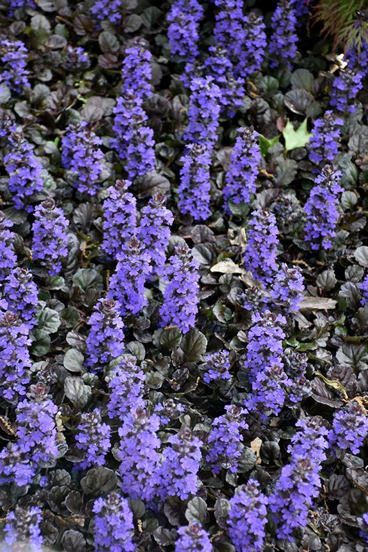 Find Black Scallop Bugleweed Ajuga
