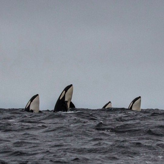 Photo by Cristina Mittermeier One, two, three, four orcas pop their heads out of the water to check us out.  Spy hoping, as this behavior is known, is not uncommon. Reminds of a game of Whack-a-Mole! Orca pods in these fjords are quite large and the members of each family travel in tight groups. It is truly lovely to see.  In Gryllefjord, Norway, #nature @blackfish #beauty #wildorca With @paulnicklen @goranehlme @frederikwolffteglhus @sea_legacy @waterproofint...