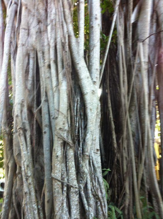 Oversized Banyan tree - Coconut Grove, Miami Florida ...