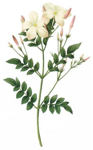 Jasmine flower botanical drawing - The health benefits of Jasmine Essential Oil…