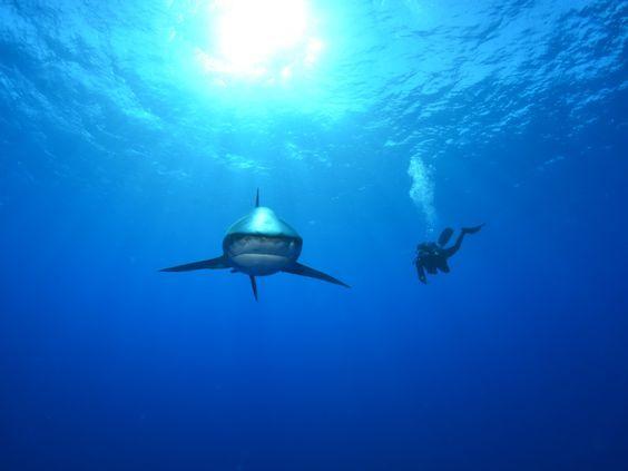 Según los expertos, al menos una cuarta parte de tiburones, rayas y quimeras del mundo están en peligro de extinción, incluyendo cada uno de los 14 mejores tiburones que se encuentran habitualmente inmersos en el comercio de aletas de tiburón. Algunas poblaciones de tiburones han disminuido en un 99% en los últimos 50 años.    Imágenes cortesía de Discovery Channel