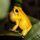 Golden Poison-frog