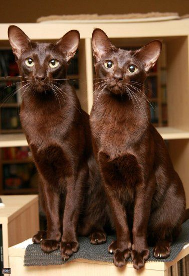 "(Havana Brown) * * CAT ON RIGHT: "" De human weez lives wif loves anythin' chocolate. Coincidence? Noes,der nots be any - onlys reasons."""