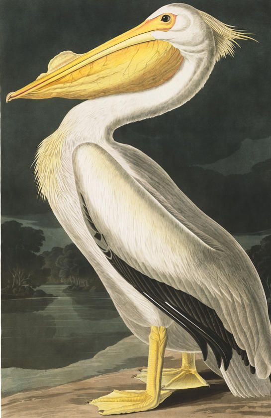 John James Audubon Birds And America On Pinterest
