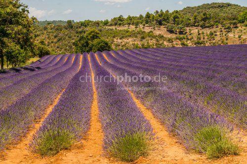 Lavendelfeld Ein Lavendelfeld In Der Provence In Sudfrankreich