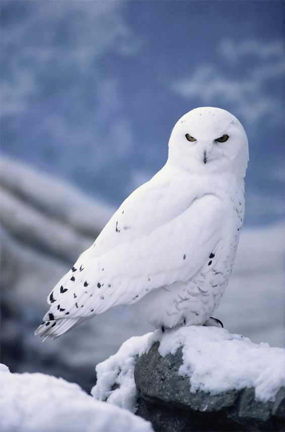 snowy owl looking intensely while perched on a snow covered rock