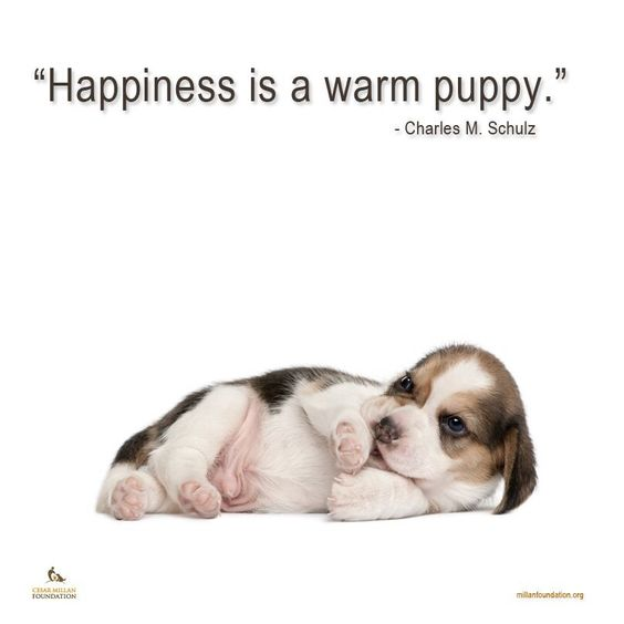 """Beagle puppy.  """"Happiness is a warm puppy."""" - Charles Schulz"""