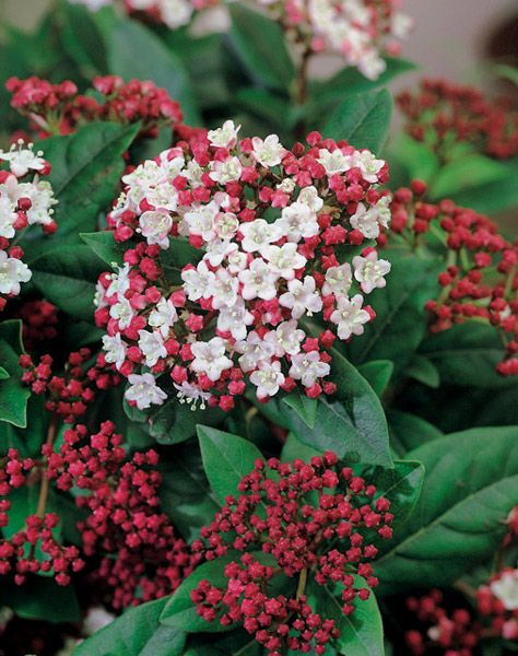 Bud low maintenance shrubs and april flower on pinterest for Low maintenance shrubs full sun