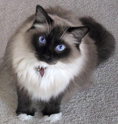 black specks on cat