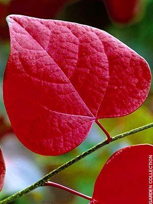 Ornamental Trees: Ornamental Plants, Ornamental Trees, Autumn Leaves, Furniture Heaven, Ornamental Flowering Trees, Trees Telegraph