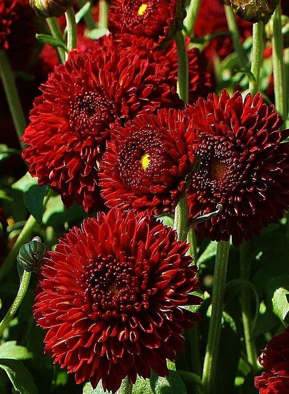 Chrysanthemums Burgundy and Winter weddings on Pinterest