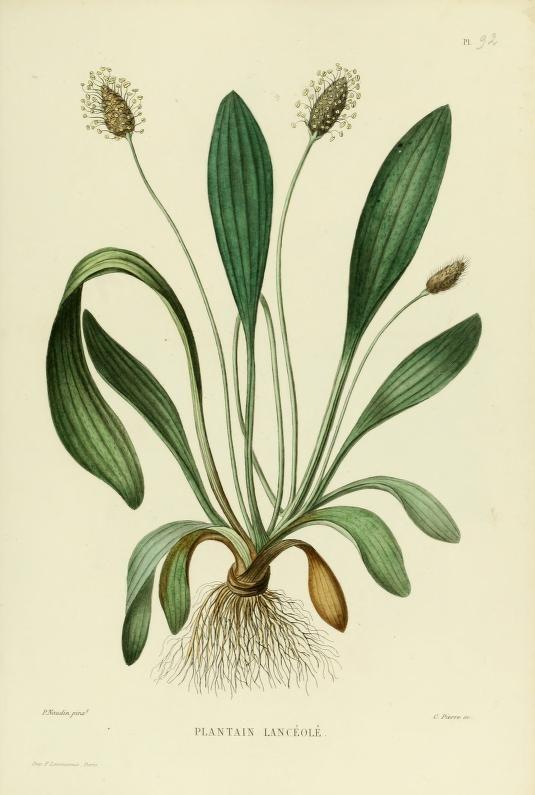 Plantain : Comestible, nature, en salade. Connu pour ses propriétés apaisantes et cicatrisantes sur les peaux irritées ou coupées.