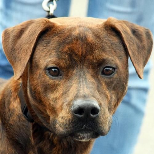 This Lonely Pup Needs A Home American Staffordshire Terrier