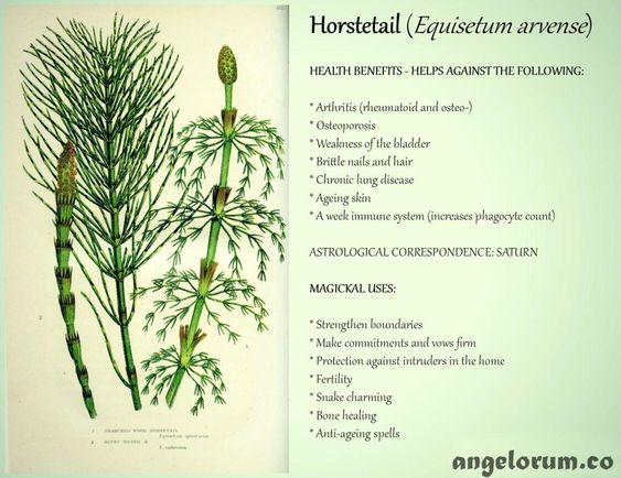 7 Health Benefits And 7 Magickal Uses For Horsetail Angelorum Herbs Healing Herbs Magical Herbs