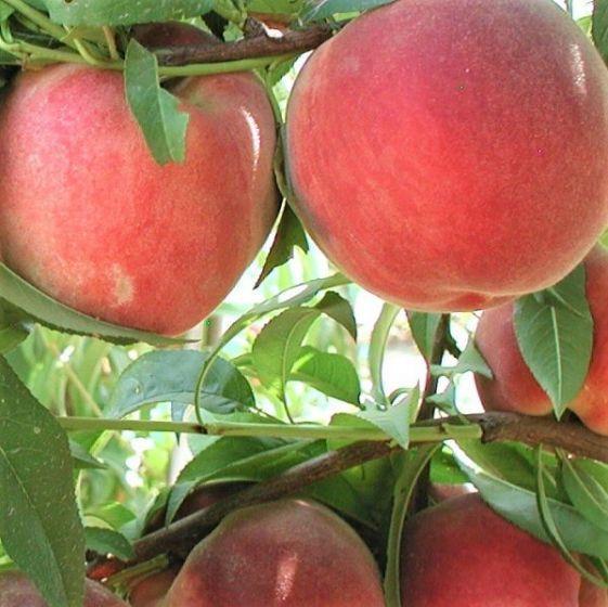 Blushing Pearl Columnar Peach Tree In 2020 Peach Trees Dwarf Fruit Trees Spice Garden