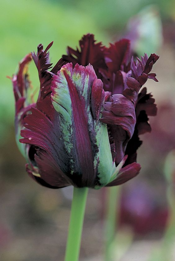 ~Tulipa 'Black Parrot' is a sport of 'Queen of Night' with heavy ruffling and a verdiflora brushing of green. Probably too dark a contrast with pure cold white but happy with ivory whites, apricot, and soft pinks.:
