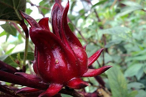 how to grow hibiscus sabdariffa from seed