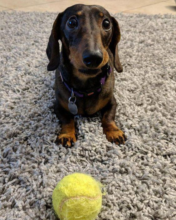 Dachshund Dog Toy Pet Toys Sausage Dog Toys Dachshund Puppy Toys