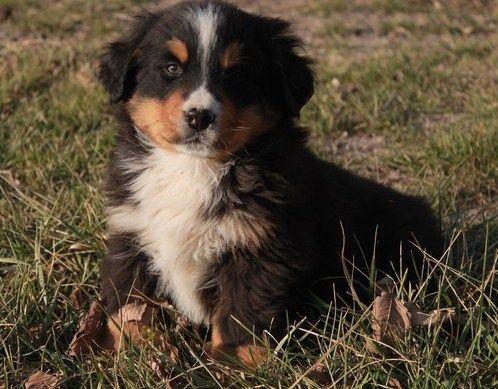 Adorable Bernese Moutain Dog Puppies Ready For Their New Home Consisting Of 2 Girls 1 Boy All Available For Their Lo Puppies Dogs And Puppies Puppies For Sale