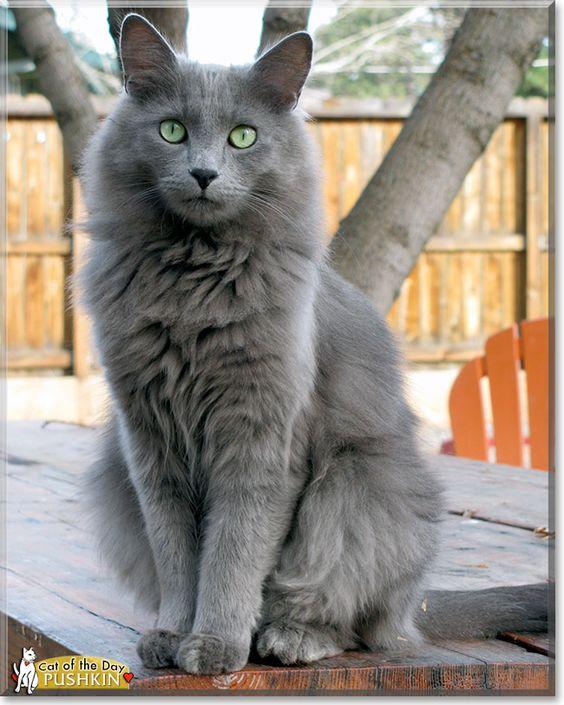 Nebelung - Pushkin, the Cat of the Day