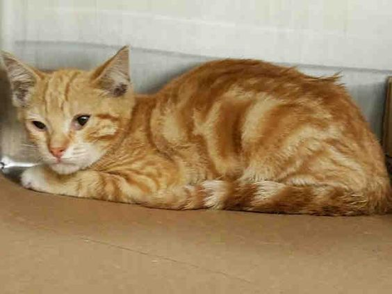 """DOMINIC - A1083233 - - Manhattan  **TO BE DESTROYED 08/05/16** """"They're better off indoors than outdoors"""" was the pompous judgement of whoever """"found"""" these five kittens in the Bronx….if the word """"find"""" can be stretched to mean """"lured into a carrier with food."""" Really? That whole scenario stinks, and one wonders how the """"finder"""" or """"trapper"""" or """"former owner"""" KNEW that DEMI, DEAN"""
