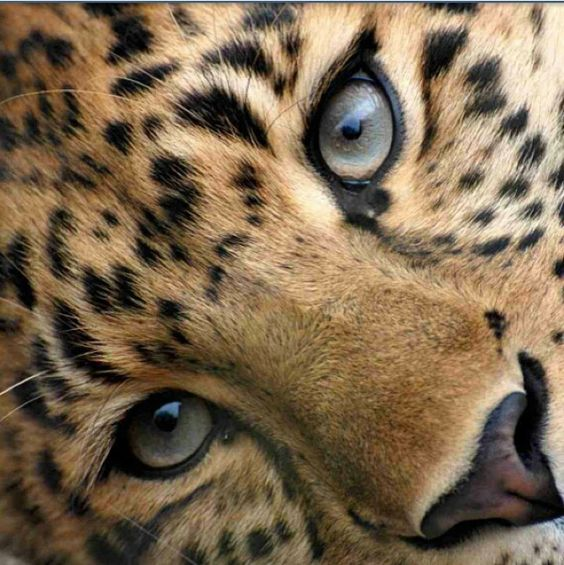 can we all just agree that leopards are the most beautiful animals!