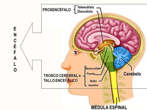 El papel de la amígdala en las emociones | Infografías Psicología ...