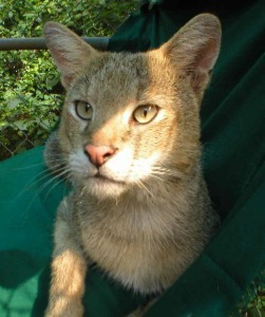 Chausies: An Exotic Hybrid Domestic Cat Breed