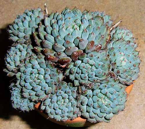 Pianta Grassa  Echeveria Setosa Vaso 10cm