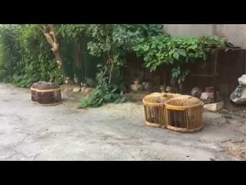 قبج حجل شنار Dashti Abass البرية Plants