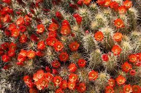 cactus laranja