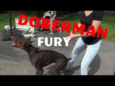 Doberman Fury Safecalm Dog Training Collars Big Chuck Mcbride