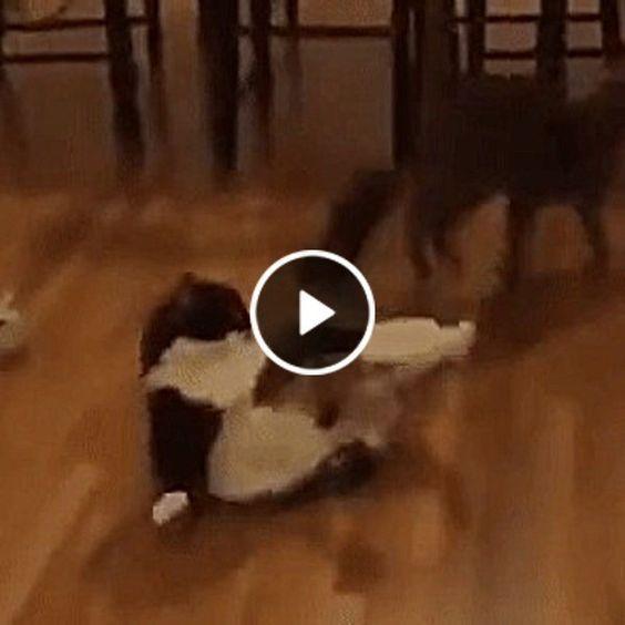 Gato com defesas rápidas