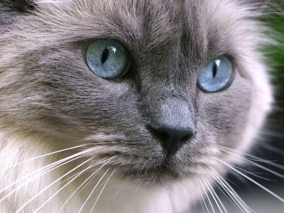 Katze | Ragdoll-Katze: Die blauen Augen sind ihr Erkennungszeichen – Bild ...
