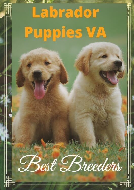 Silver Lab Puppies For Sale In Va Top 05 Lab Breeder In Virginia Free List Silverlab Silverlabrador Sil In 2020 Training Your Puppy Silver Lab Puppies Lab Puppies